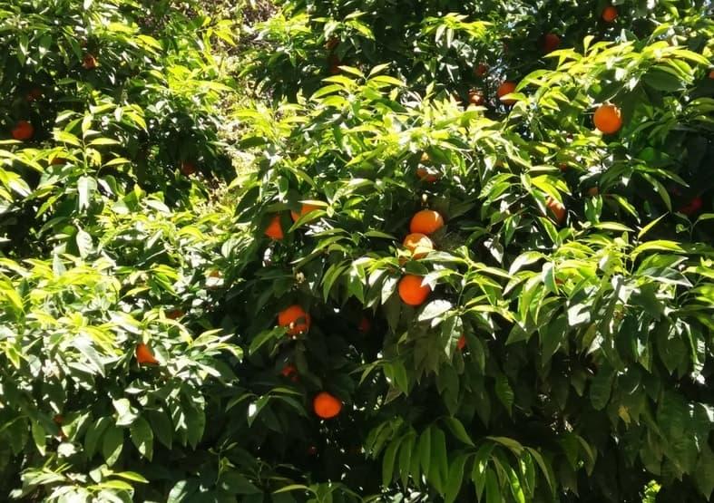 pomarańcze ateny